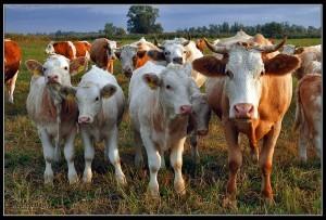 сельское хозяйство стадо