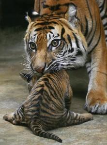 тигры поколения