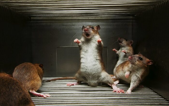 Удивительный эксперимент с крысами Дидье Дезора